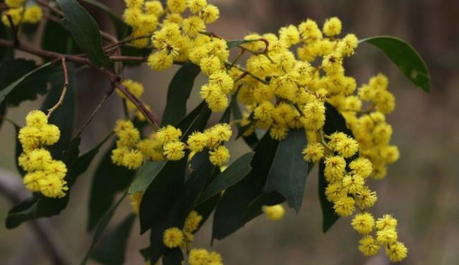 Golden Wattle : ภาพจาก bwvp.ecolinc.vic.edu.au