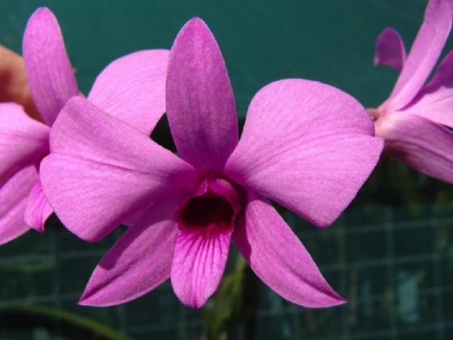 Cooktown Orchid: ภาพจาก aussieq.net
