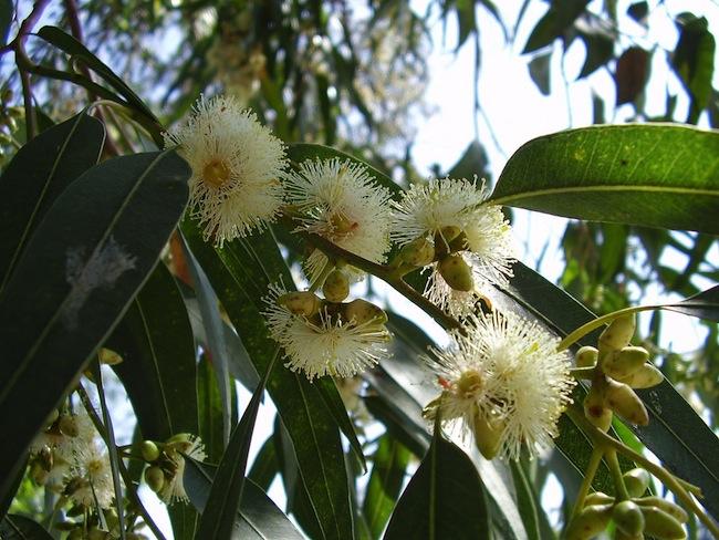 Eucalyptus globulus: ภาพจาก flickr.com โดย Joan Simon