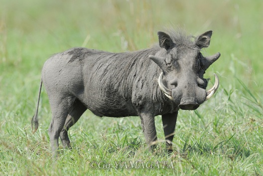 หมูป่า warthog ตัวเป็น ๆ ก่อนที่จะกลายเป็นอาหาร