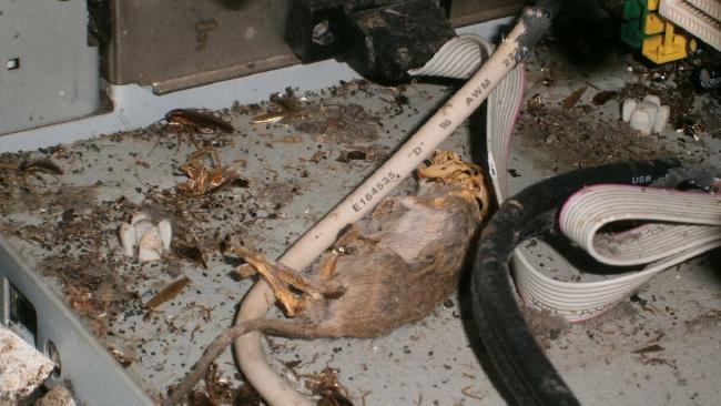 ซากหนูตายและแมลงสาบที่พบในครัวของร้าน Subway สาขา  Chermside Westfield (ภาพจากเทศบาลเขต Brisbane City)