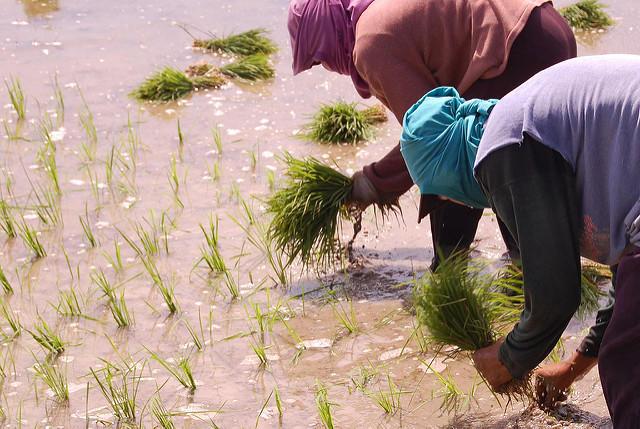 ชาวนากำลังปลูกข้าวในแปลงทดลองที่ประเทศฟิลิปปินส์ : ภาพจาก unimelb.edu.au