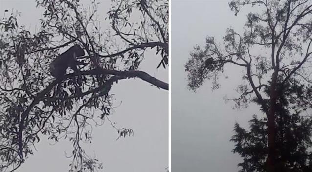 Jimmy ขึ้นไปอยู่บนต้นยูคาลิปตัสเรียบร้อยแล้ว : ภาพจากทีวี 7 ต้นฉบับ Russell Latter