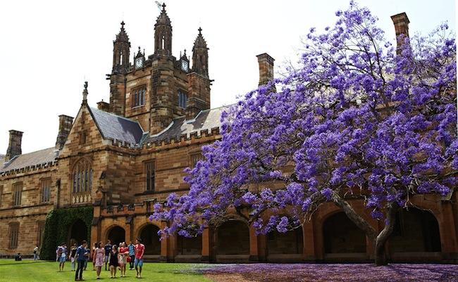 แจ็กกาแรนดาในเดือนพฤศจิกายน (ในอดีต) ที่ Main Quadrangle ม.ซิดนีย์ : ภาพจาก sydney.edu.au