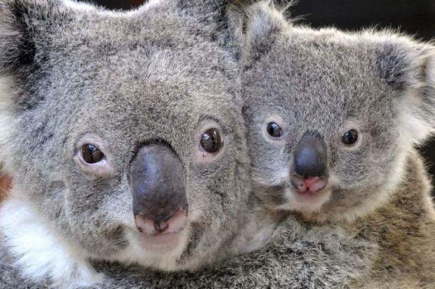 โคอาล่าสัตว์ผู้น่ารักมีการค้นพบว่าได้กลับมาขยายประชากรในพื้นที่ Illawarra อีกครั้งหนึ่งหลังจากสูญหายไปกว่า 7 ทศวรรษ : ภาพจากสำนักข่าว ABC