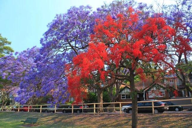 ต้นแจ็กกาแรนดาและหางนกยูงฝรั่งในนครซิดนีย์ขึ้นประชันกันในเดือนตุลาคม-พฤศจิกายน : ภาพชั่วคราวจาก allthingswritten.com.au